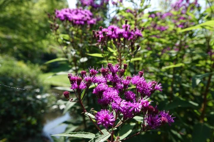Vernonia Crinit